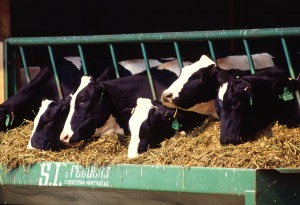 Livestock are a major source of methane gas emissions.