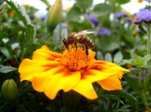 Honey Bee:  Pollinator in danger. Wikepedia. Owner Christopher Downs