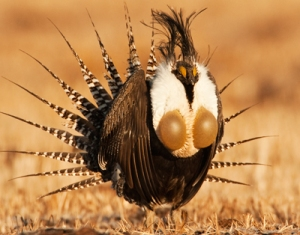 Gunnison Sage-Grouse by Noppadol Paothong
